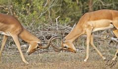 Rutting Impala- Kruger National Park, South Africa (wsweet321) Tags: africa bird nature southafrica mammal birding safari research endangered krugernationalpark kruger satara savanna bigfive skukuza knp lowersabie