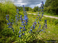 Viper's-bugloss (Roger B.) Tags: unitedkingdom wildflower barnsley southyorkshire echium echiumvulgare vipersbugloss rabbitings