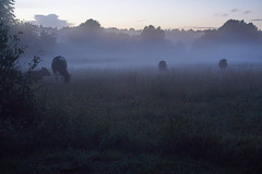 Cows in the mist (Budoka Photography) Tags: cows nightphoto night serene tranquility nature landscape mist sunset summer afterrain kettle sweden shcolsson primelens manualfocus manual sonyalpha7rmkii sonyalpha7rmr2 canonfd50mmlf12 hkanolsson holsson budokaphotography heaven