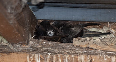 IMG_3492 (Helios Images) Tags: chicks brooding nesting swifts bbcspringwatch