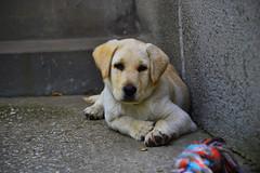 ber the labrador retriever is concentrating (Attila Ntz) Tags: dog puppy nikon labrador retriever lbny ber 55300mm d3100 lovasfot ntzattila