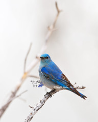 Mountain Bluebird (Daryl L. Hunter - The Hole Picture) Tags: usa unitedstates mountainbluebirdyellowstone
