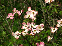 pink dogwood (natureburbs) Tags: flower tree spring scenic dogwood newjerseynature