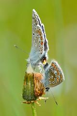 Argus bleu (Jean-Phi.) Tags: argusbleu azurdelabugrane polyommatusicarusrott azurcommun