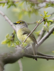 A White-Eyed Vireo (rivadock4) Tags: park farm kinder vireo whiteeyedvireo kinderfarmpark whiteeyed
