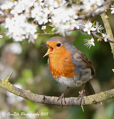 Serenade in bloom (GemElle Photography) Tags: flowers red white bird robin nikon blossom bloom gemelle redbreast sigma50500 d600 gemelle1