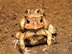 American Toads (nikomelos) Tags: spring nj toads nightime toad americantoad toadsmating nikkor60mm njwildlife