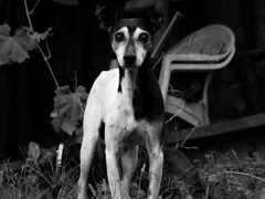 Fito (1997-2013) (Alonso Henrquez) Tags: bw dog portait terrier canong3 foxterrier fito cfb alonsohenrquez