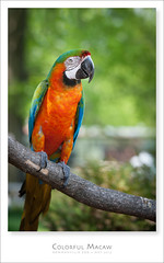 Colorfull Macaw (Light Forger) Tags: ontario canada colors birds animal zoo fly nikon colours macaw bowmanville colorfulmacaw lightforger
