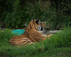 Tiger-2646 (D_wal) Tags: bigcat tulsazoo 8020028d d7100 flickrbigcats