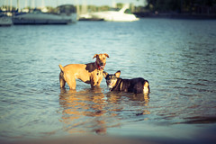 265/366 - Koda meets Marlon Brando (Brian.Buckler) Tags: bear dog chicago beach canon project pembroke eos illinois corgi belmont mark brian 85mm il ii 5d welsh 365 brando f18 marlon ef koda 366 buckler 5d2