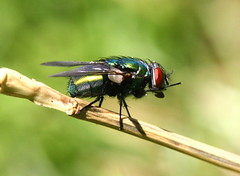 Green Bottle Fly (Chelsea188) Tags: red macro green animal canon bug hair wings eyes greenbottlefly inssect