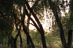 Lumbini Treescape