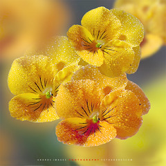 Una flor llamada pensamiento (Amarillo). // A flower called thought (Yellow). (ANDROS images) Tags: pictures light naturaleza color luz interesting photos places images photographs fotos lugares lightreflection l