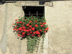 Red cascade, Cogne (magister111) Tags: flowers va