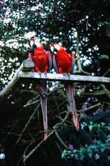 Parrots (Alice Aronson) Tags: alpaca peru machu picchu inca amazon desert jungle caiman ica 2012 sechura