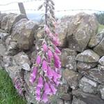 Digitalis (Foxglove), Park Lane near Rowsley, Derbyshire thumbnail