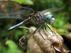 Blue Dasher (Greg Eicher) Tags: macro dragonfly wv westvirginia bridgeport bluedasher canonsd790is gregeicher