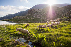 Going back home (jeff_006) Tags: sunset summer sun mountain lake flower grass rock river landscape sheep olympus panasonic herd f28 1235 em5 flickrsfinestimages1
