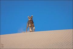 (Jos L.Gutirrez) Tags: chile dog paisajes naturaleza sun sol nature sport trekking canon fun landscapes sand desert dunes arena perro atacama deporte desierto caminata senderismo dunas diversin