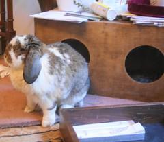 Maple (Bunningham Palace) Tags: rabbit bunny bunnies maple houseguest furryfriends bunniesgalore deardiaryaugust2013