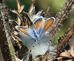 Western Pygmy Blue (Brephidium exile) (kaeagles) Tags: california blue butterfly bugs salinasrivernwr