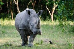 Rhino Fund Sanctuary, Uganda (Mirko.Eggert) Tags: africa travel uganda eastafrica 2013 centralregion nikon70300vr nikond7000 nakitoma amukasafari rhinofundsanctuaryuganda wwwrhinofundorg buruuli