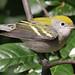 Chestnut-Sided Warbler, 1st Winter (I think)