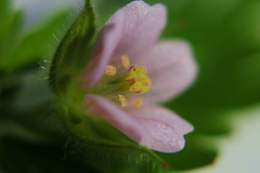 In The Center (Zoom Lens) Tags: flowers flower color macro floral beautiful leaves closeup design miniature amazing weeds weed nikon little blossom dwarf small blossoms mini tiny micro bloom buds complexity brightcolors bud blooms teeny incredible complex brilliant minute designed astonishing supermicro miniscule itsybitsy teensyweensy littlebitty weedflowers weedflower inthecenter macromondays johnrussellakazoomlens evidenceofthehandofthecreator copyrightbyjohnrussellallrightsreserved setweedflowermicros