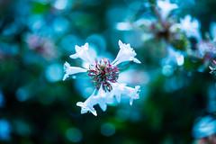 Core (moaan) Tags: life flower zeiss whiteflower flora dof bokeh 100mm september utata flowering f2 shrubbery makroplanar 2013 inlife canoneos5dmarkiii zeissmakroplanart2100ze carlzeissmakroplanart100mmf2ze