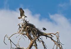 _DSC1862b (aeschylus18917) Tags: bird nature america nest wildlife raptor magpie washingtonstate osprey pandionhaliaetus  harrassment 200400mm accipitriformes   danielruyle aeschylus18917 danruyle druyle   nikkor200400mmf40gvr 200400mmf40gvr
