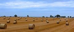 Fields Of Gold... (laufar1) Tags: haystacks hay barrell fieldsofgold challengegroupwinner