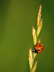 Chacun sa route ** (Titole) Tags: green grass ladybird ladybug coccinelle graminée friendlychallenges thechallengefactory titole nicolefaton