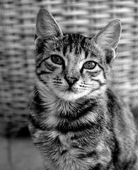 Greek Cat - Rhodes Pefkos (BW) (Olympus OMD EM5 & Sigma 30mm F2.8 prime lens) (markdbaynham) Tags: bw white black monochrome cat greek four feline hellas evil sigma olympus greece grecia micro third pefkos rodos rhodes f28 omd csc 30mm dodecanese hellenic mft pefki em5 mirrorless m43rd vision:outdoor=086