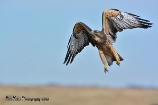 Juvenile Swainson's Hawk DSC_2594