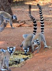 Ring-tailed Lemurs around a small waterhole. Berenty, South Madagascar. (One more shot Rog) Tags: drink wildlife tail rings lemur lemurs sisal madagascar tails ringtail ringtailedlemur malagasy berenty ringtails spinyforest berentyprivatereserve andemoc