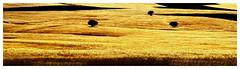 Field of Gold & Triangular of black Trees..! (Vafa Nematzadeh Photography) Tags: