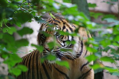 Tigre (CL PhotoPassion) Tags: france french pentax tigre fauve beauval staignan k5ii clphotopassion