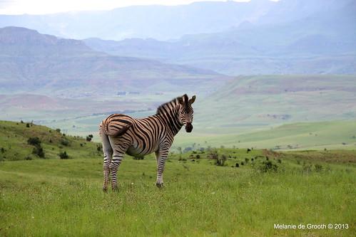 Young Zebra 2