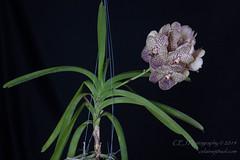 Carmen's Surprise (celainej) Tags: orchid coral gardens v surprise tropical botanic judging gables society fairchild carmens fragrance aos davison melana ftbg kulwadee