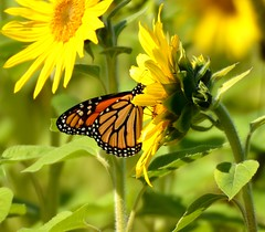 117e glorious summer colors (jjjj56cp) Tags: flowers autumn summer nature butterfly insect ngc blossoms sunny npc monarch blooms mariposa schmetterling farfalle gormanheritagefarm mygearandme vision:outdoor=0593 vision:plant=0862