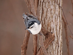 Nuthatch (MLK6615) Tags: bird niagara nuthatch