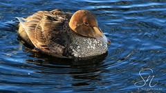 King Eider 4225-14 (StacyN - MichiganMoments) Tags: bird duck birding waterfowl kingeider muskegon somateriaspectabilis muskegonchannel stacyniedzwiecki