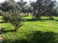 Olive trees in a school yard (zalexandra_phonepics) Tags: flowers plants nature colors grass sunshine outside spring sunny balkans montenegro iphone vision:mountain=0825 vision:outdoor=0983 vision:plant=0905 vision:clouds=0518 vision:sky=0713