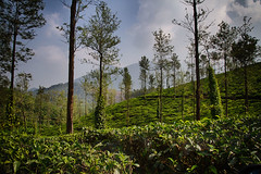 Tea (Daniel Robert Kelly) Tags: india wayanad kalpetta