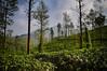 Tea (Daniel Robert Kelly) Tags: india wayanad kalpetta