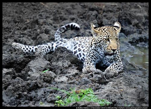 Juvenile leopard cub