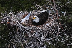 About A Month Before Birth (Insearchoflight) Tags: new home wings nest father mother eaglesnest roosting hatching thefeast wingstogo afterthefeast matureeagles waitingtheborning