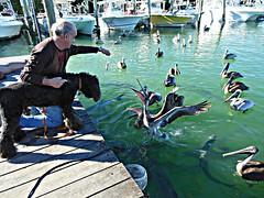 Sun and Fun in the Florida Keys (Midnight and me) Tags: dog sun pelicans water marina fun boats dock poodle curiosity tarpon herring floridakeys standardpoodle blackstandardpoodle thelittledoglaughed herringtoss midnightandme curiousmidnight pelicancatch