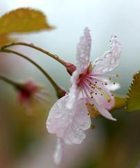 Beaded blossom (SteveJM2009) Tags: uk light flower tree wet rain fruit spring focus dof blossom dorset april holt drizzle stevemaskell 2014 aprilshowers yahoo:yourpictures=spring